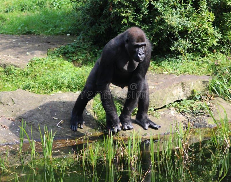 Gorila de planície ocidental, gorila do gorila do gorila fotografia de stock royalty free