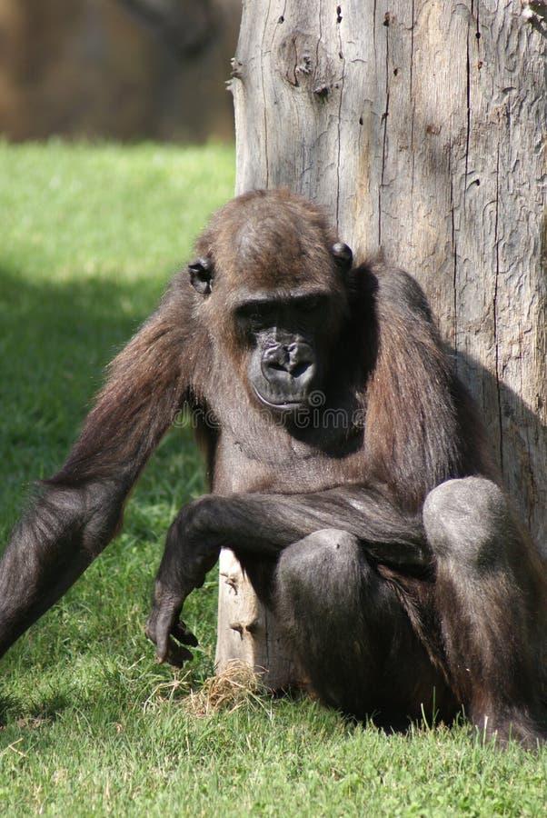 Gorila de planície ocidental - gorila do gorila do gorila fotografia de stock royalty free