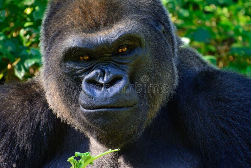 Gorila de planície ocidental masculino do Silverback imagens de stock
