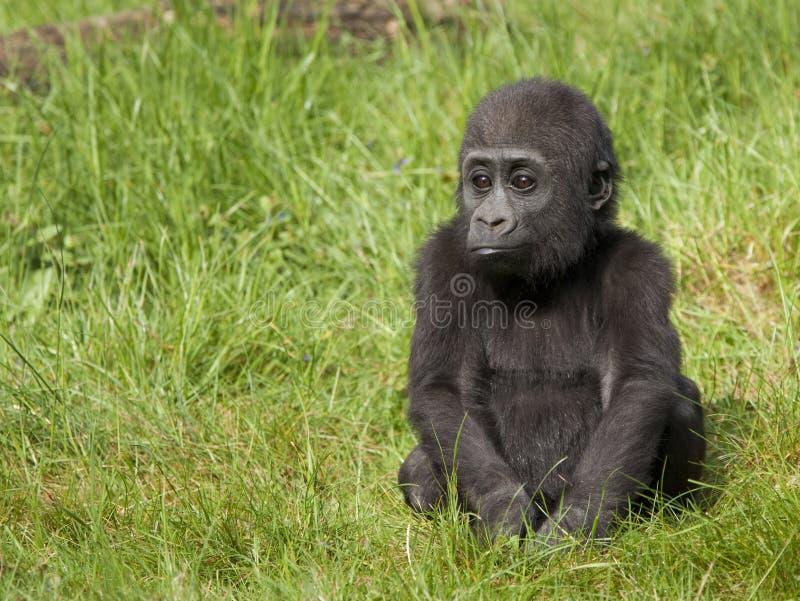 Gorila de planície ocidental novo imagens de stock