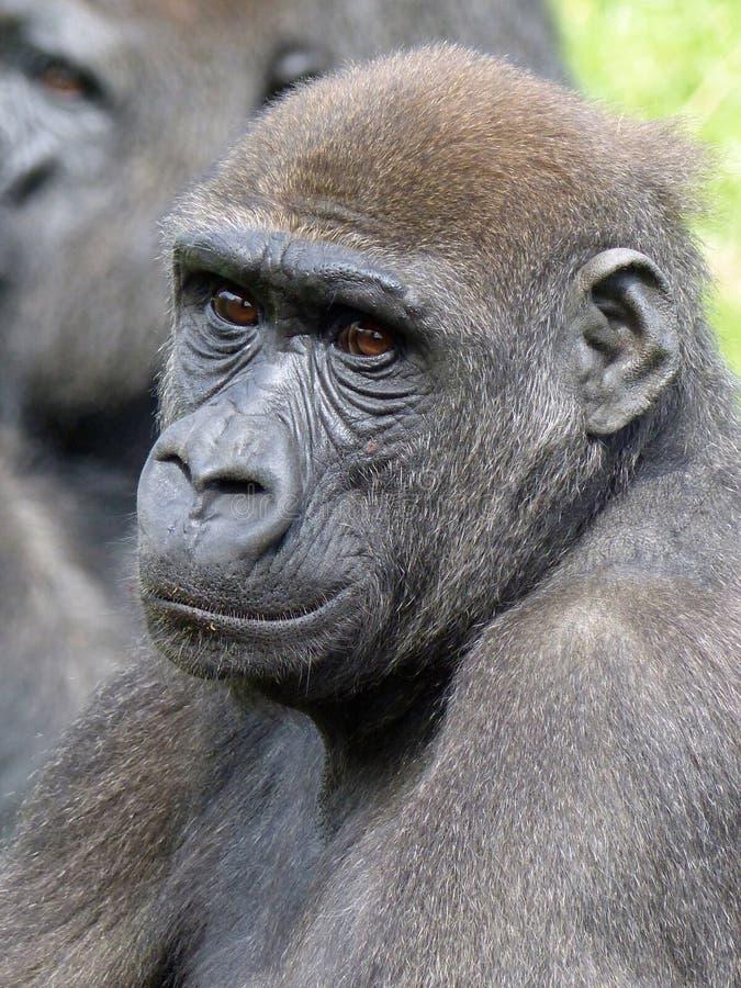 Gorila de planície ocidental novo no jardim zoológico do jérsei imagem de stock royalty free