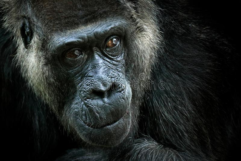 Gorila de planície ocidental, retrato principal do detalhe com olhos bonitos Foto do close-up do macaco preto grande selvagem na  fotos de stock
