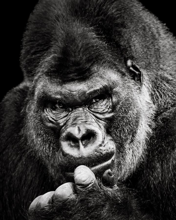 Gorila de planície ocidental X foto de stock royalty free