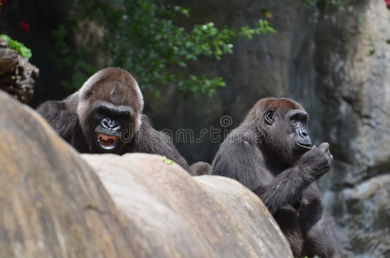 Gorila de Silverback imagen de archivo