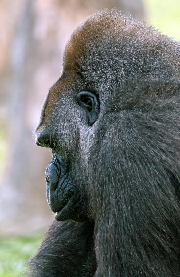 Gorila de Silverback foto de stock