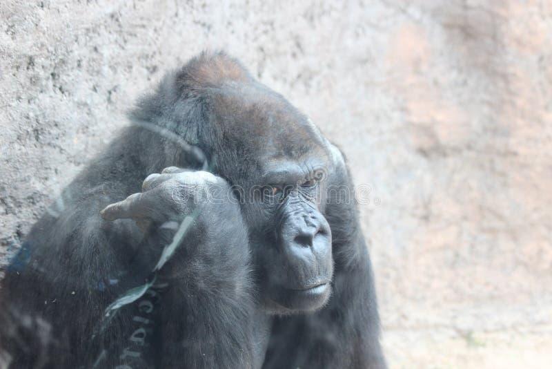 Gorila de Throughtful fotografía de archivo