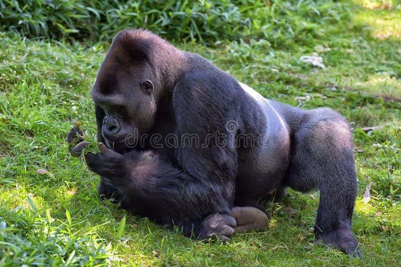 Gorila de tierra baja occidental imagenes de archivo
