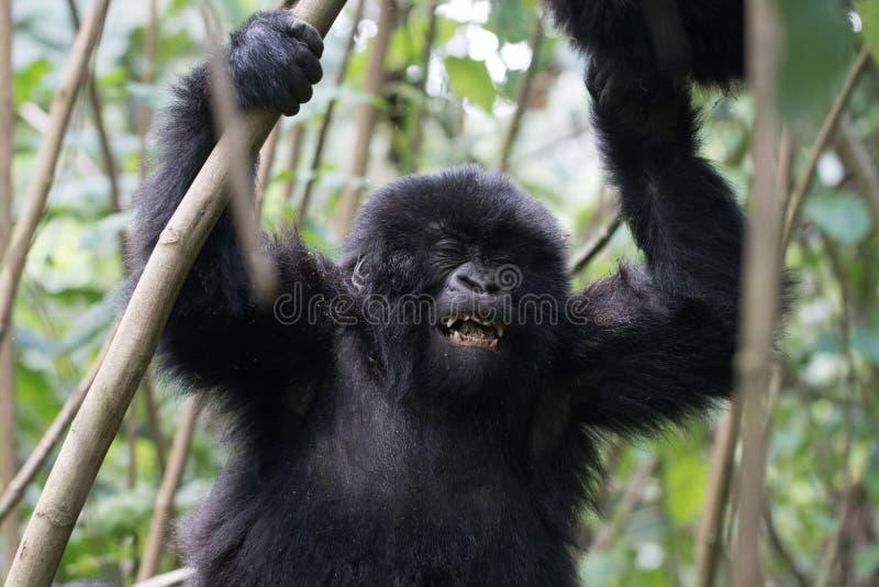 Gorila del bebé en Rwanda fotos de archivo libres de regalías