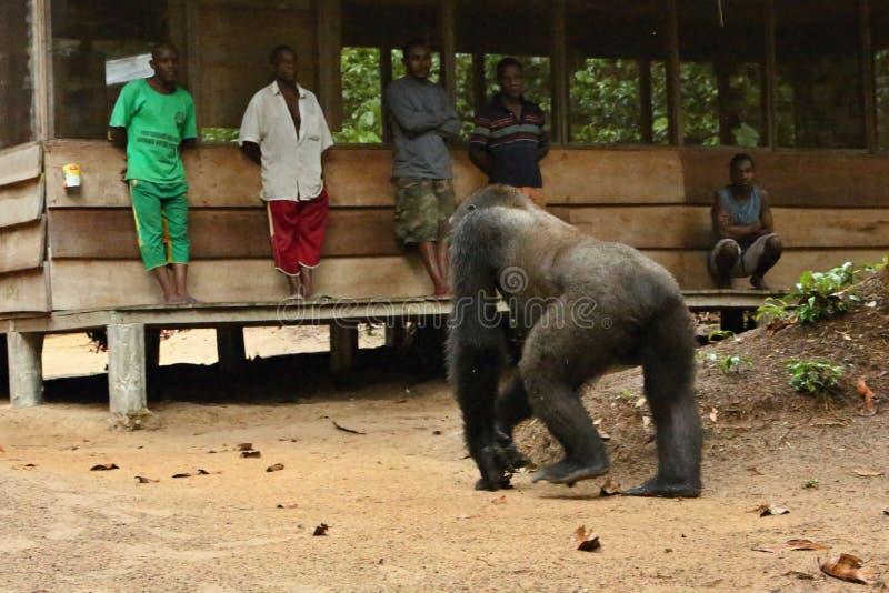 Gorila del este en peligro en la belleza de la selva africana foto de archivo