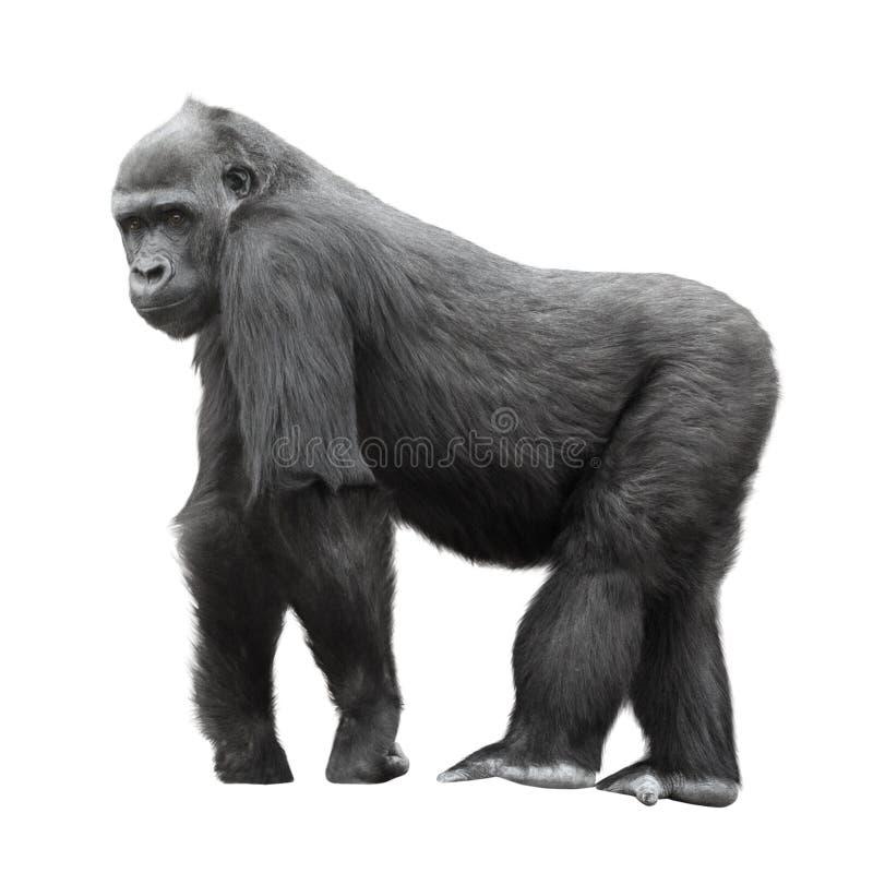 Gorila del Silverback aislado en blanco fotos de archivo libres de regalías
