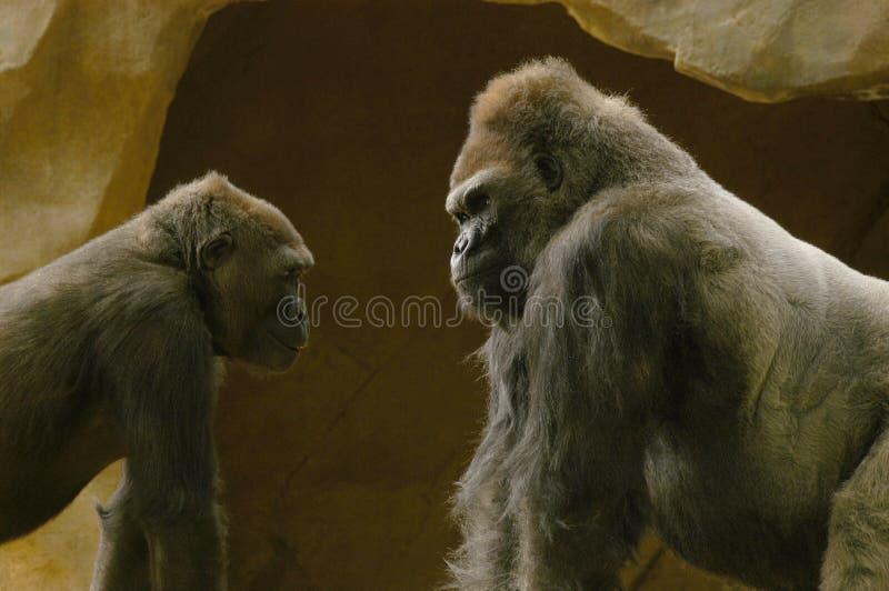 Gorila del Silverback que da un momento de enseñanza a un gorila más joven imagen de archivo
