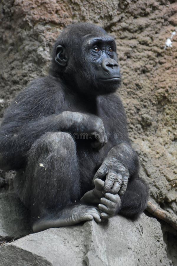Gorila do bebê com o olhar severo que senta-se em uma rocha imagens de stock royalty free