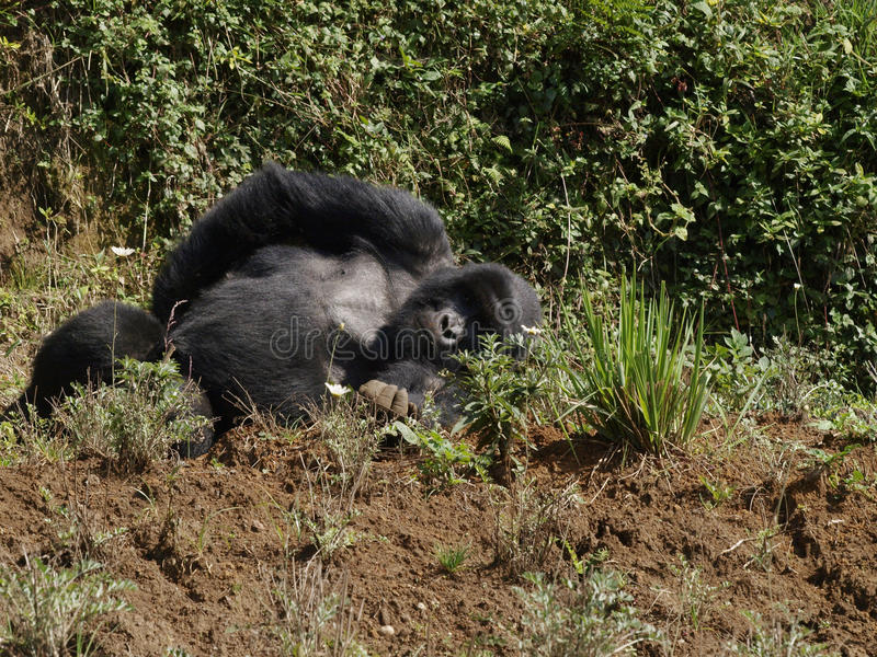Gorila do sono fotografia de stock royalty free