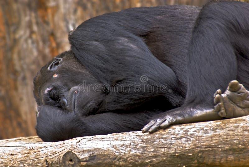 Gorila el dormir imagenes de archivo