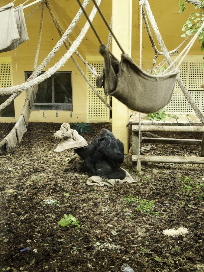 Gorila en cautiverio imagen de archivo