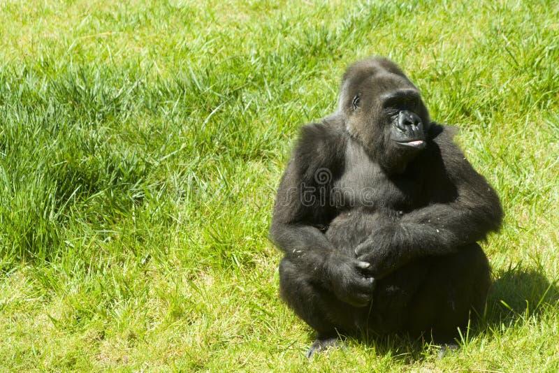Gorila en la hierba imagen de archivo