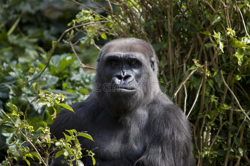 Gorila en la selva imagen de archivo