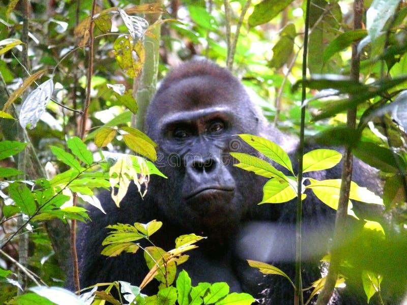 Gorila en la selva en Congo fotografía de archivo