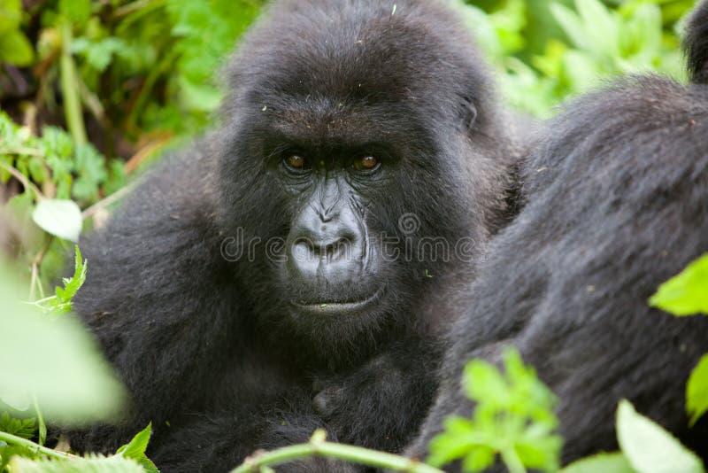 Gorila en Rwanda imagen de archivo libre de regalías