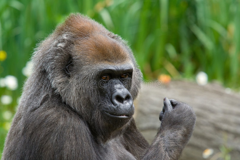 Gorila fêmea fotografia de stock royalty free