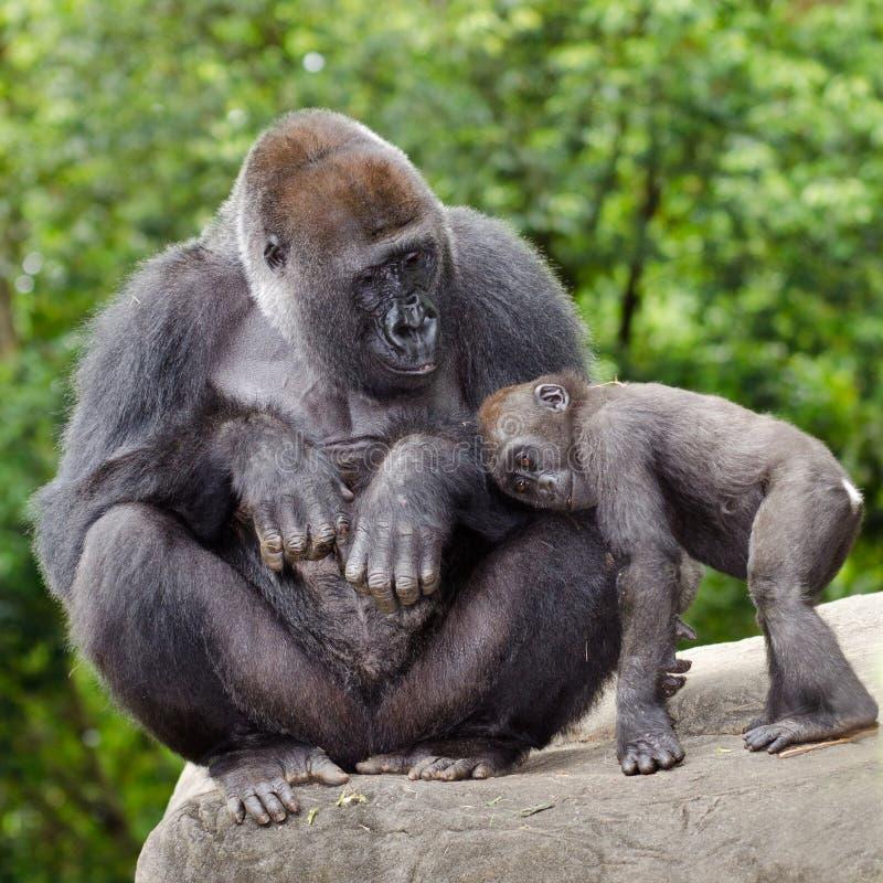 Gorila fêmea que importa-se com jovens fotografia de stock