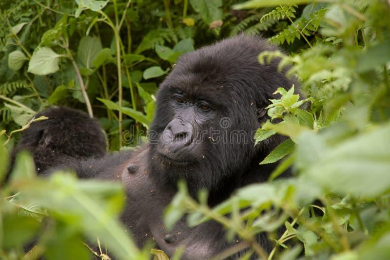 Gorila femenino en Rwanda imagenes de archivo