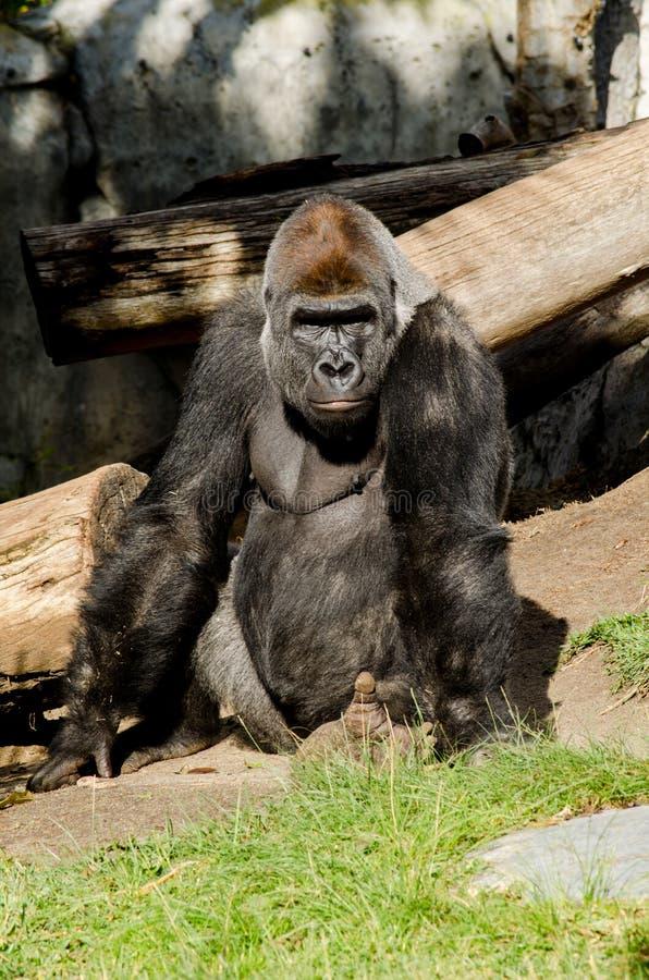Gorila Gorila stockfotos