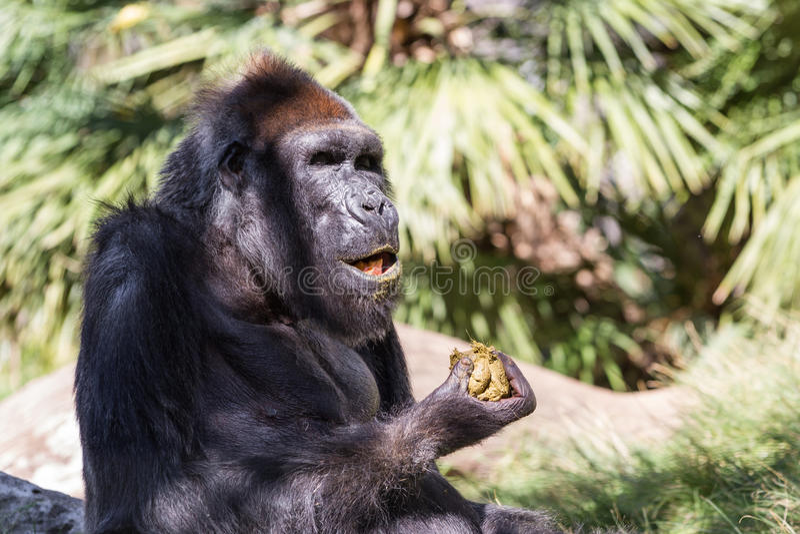 Gorila - (gorila do gorila) imagem de stock royalty free