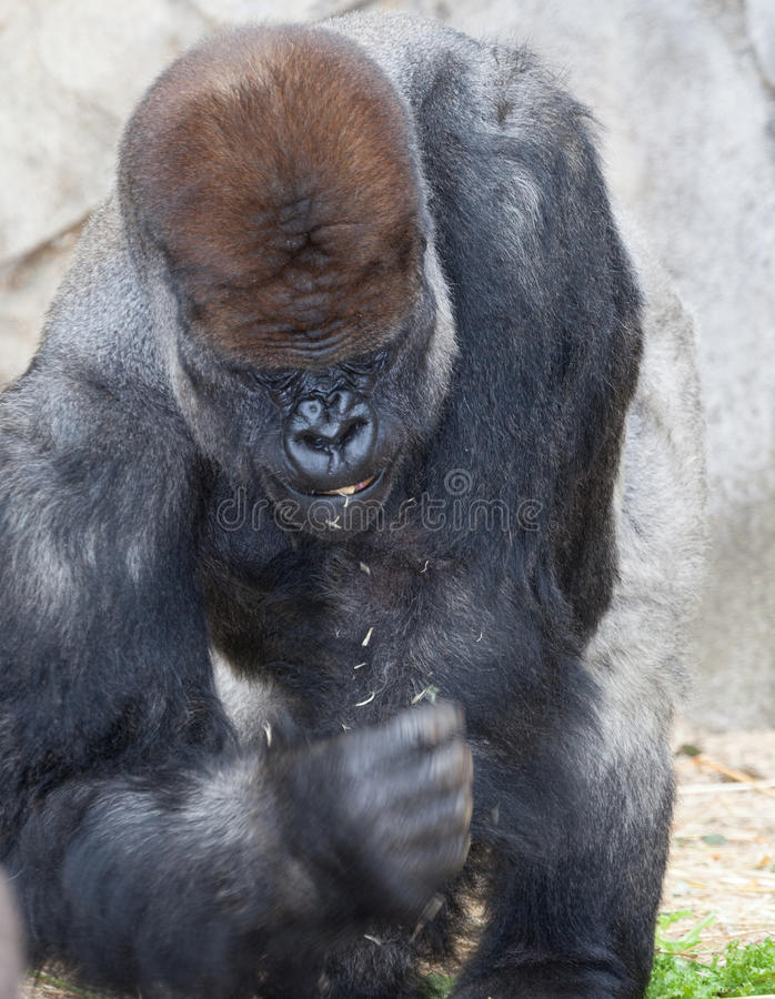 Gorila grande do silverback fotos de stock