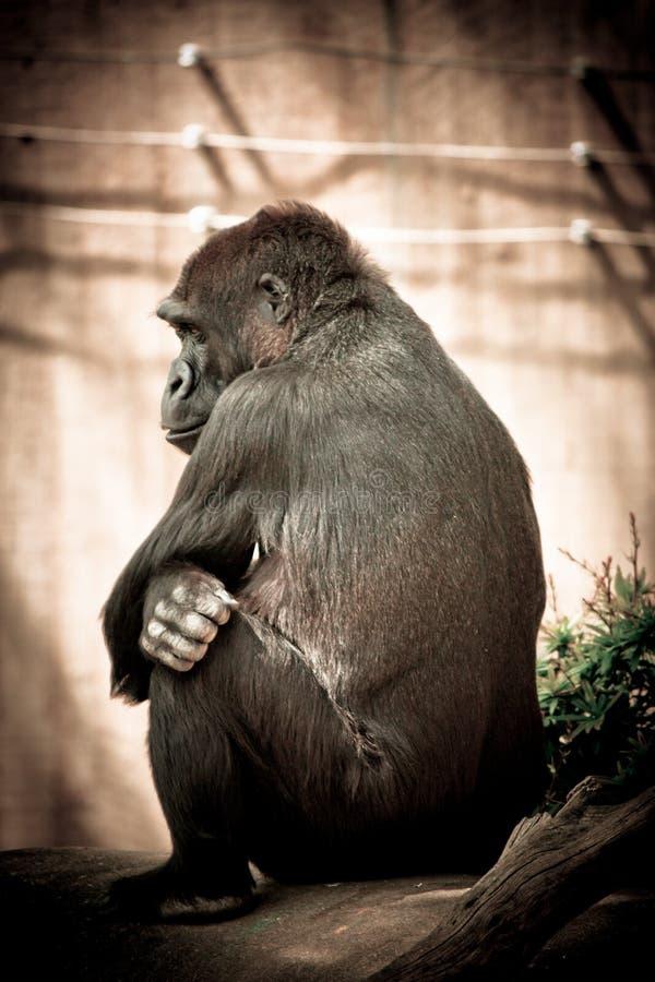 Gorila gruñón imagenes de archivo