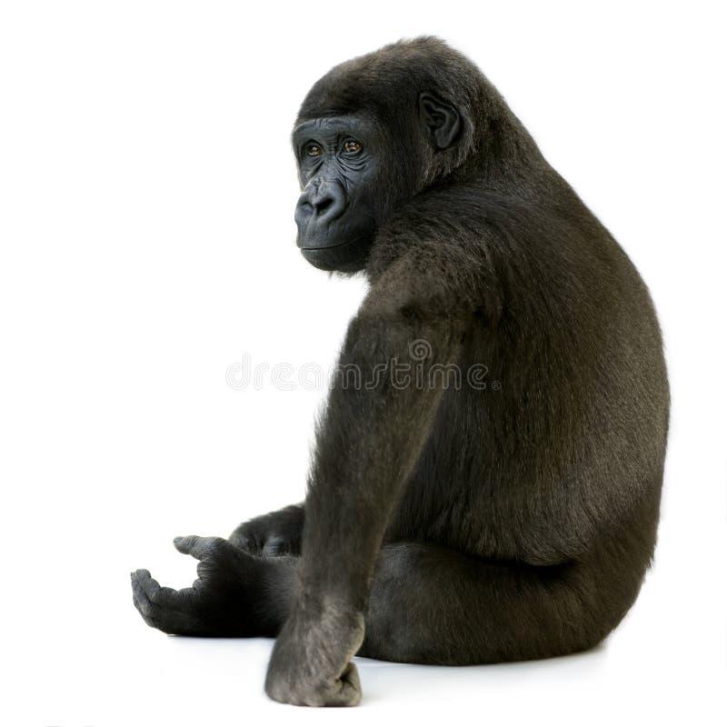 Gorila joven de Silverback fotografía de archivo