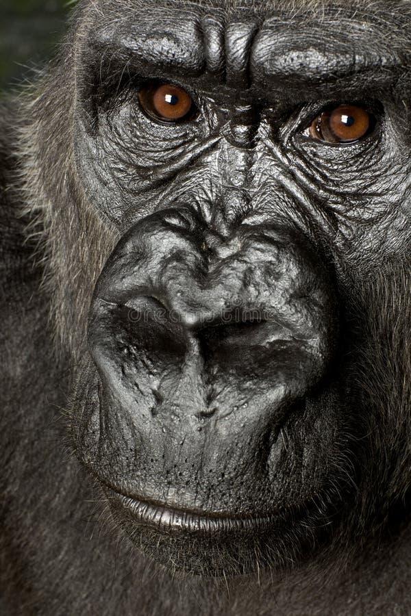 Gorila joven de Silverback imagen de archivo