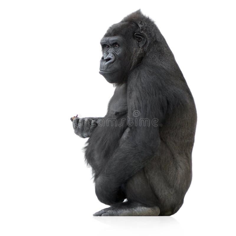 Gorila joven de Silverback fotos de archivo