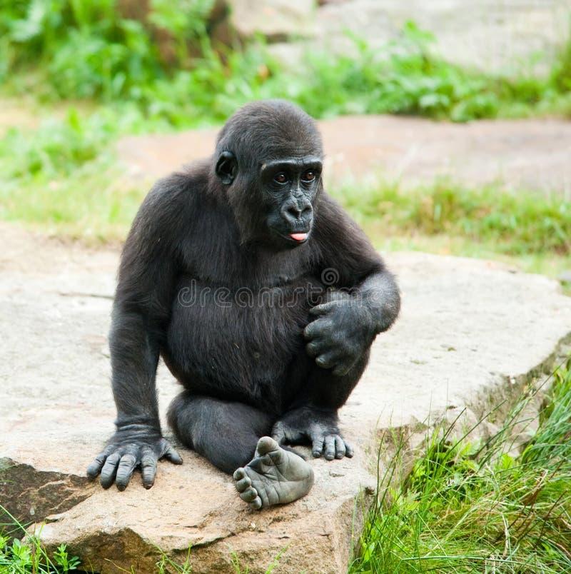Gorila lindo del bebé fotografía de archivo libre de regalías