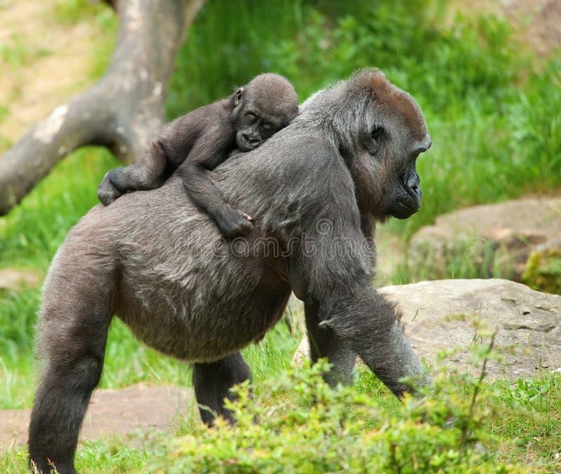 Gorila lindo del bebé y de la madre foto de archivo libre de regalías