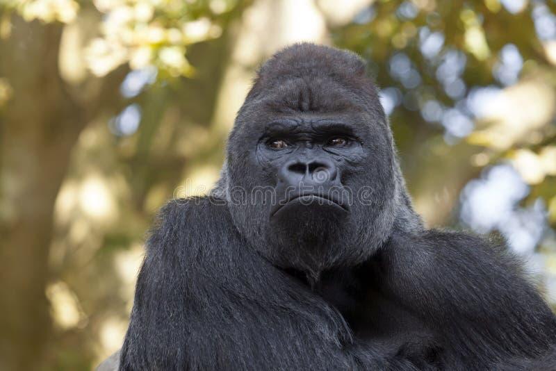 Gorila masculino fotografia de stock royalty free