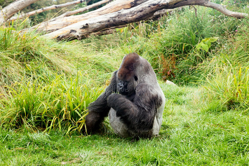 Gorila masculino da parte traseira da prata que come as folhas verdes imagens de stock royalty free