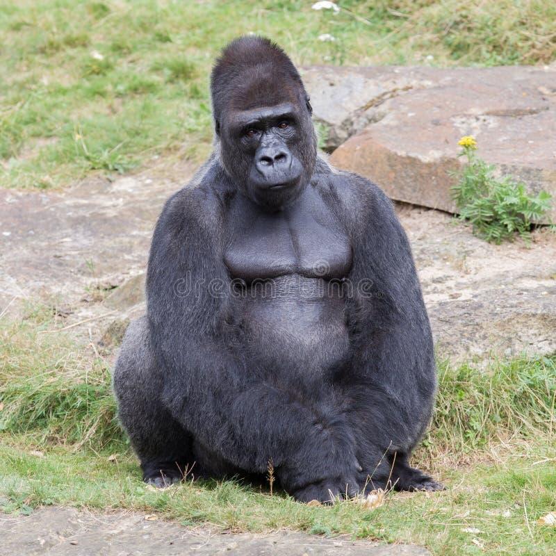 Gorila masculino suportado prata imagens de stock