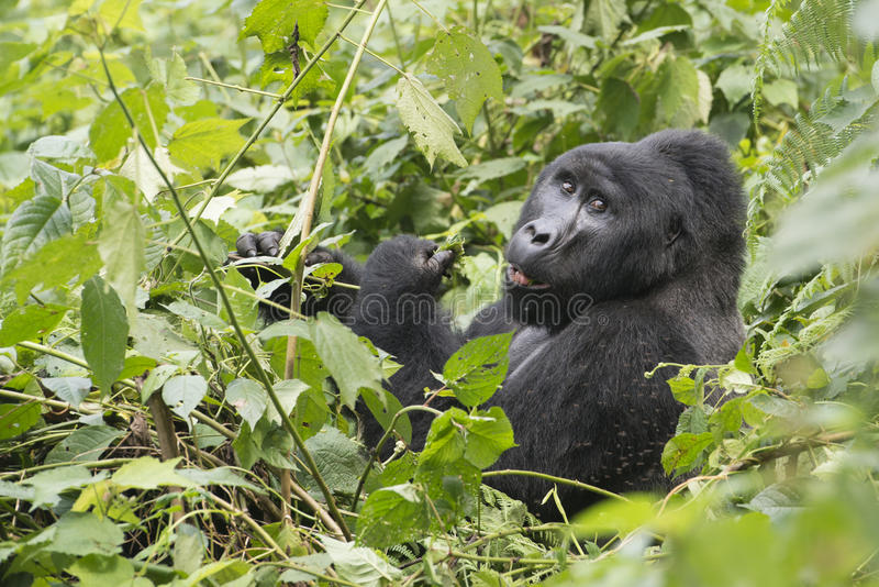 Gorila na floresta tropical - selva - de Uganda foto de stock royalty free