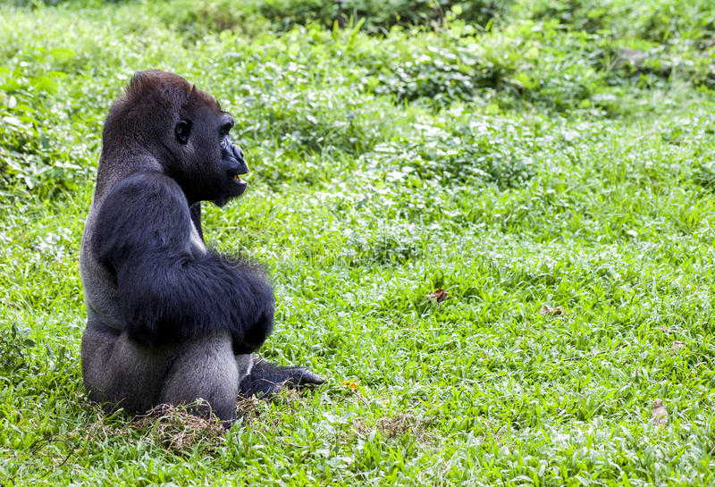 Gorila no jardim zoológico de Ragunan - Jakarta fotos de stock