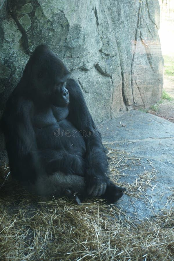Gorila no jardim zoológico do nc foto de stock