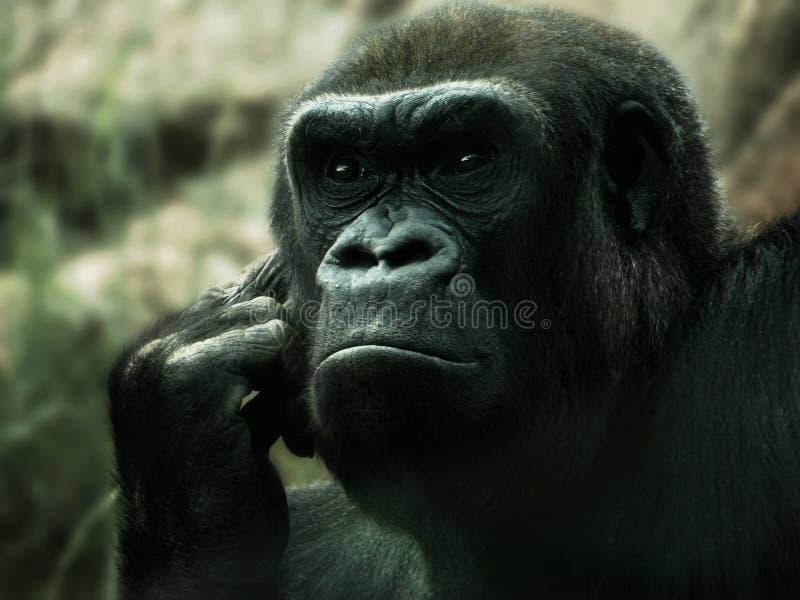 Gorila no pensamento imagens de stock