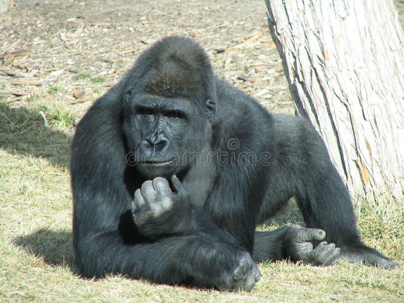 Gorila no pensamento profundo imagens de stock