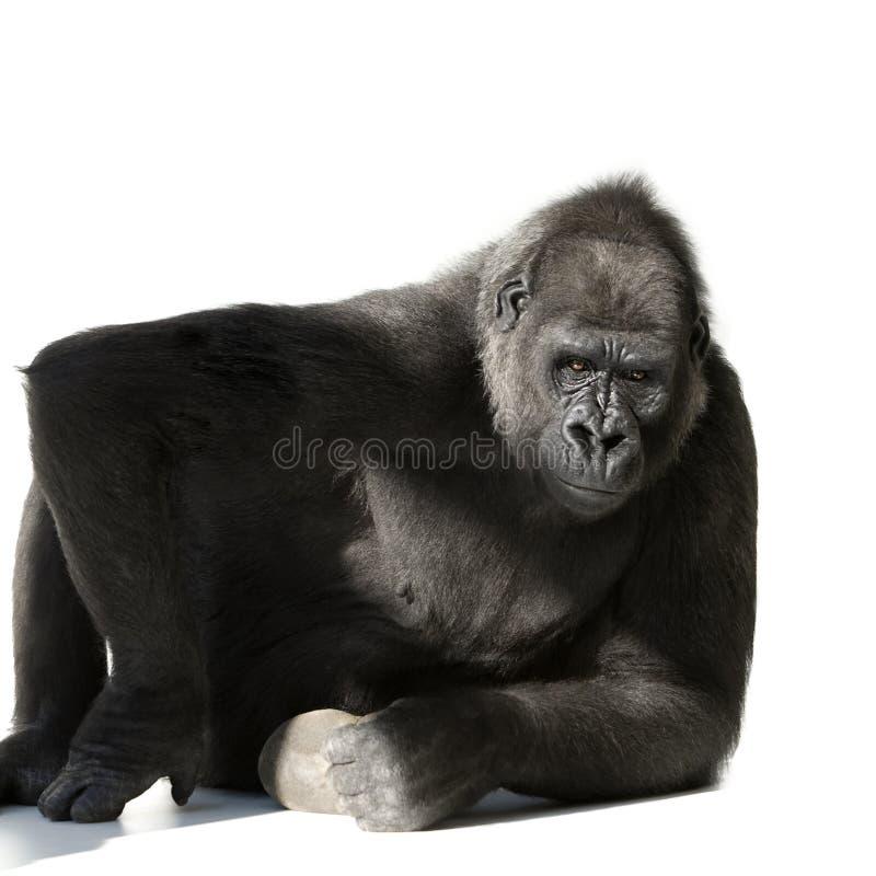 Gorila novo de Silverback fotos de stock royalty free