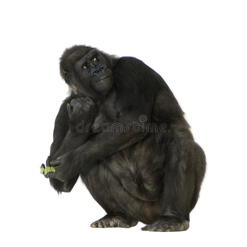 Gorila novo de Silverback fotografia de stock royalty free