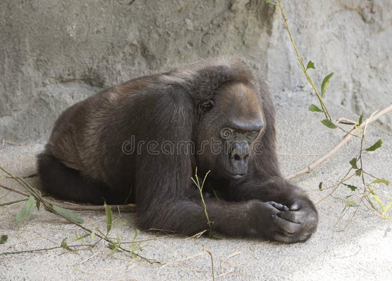 Gorila occidental en descanso imagenes de archivo