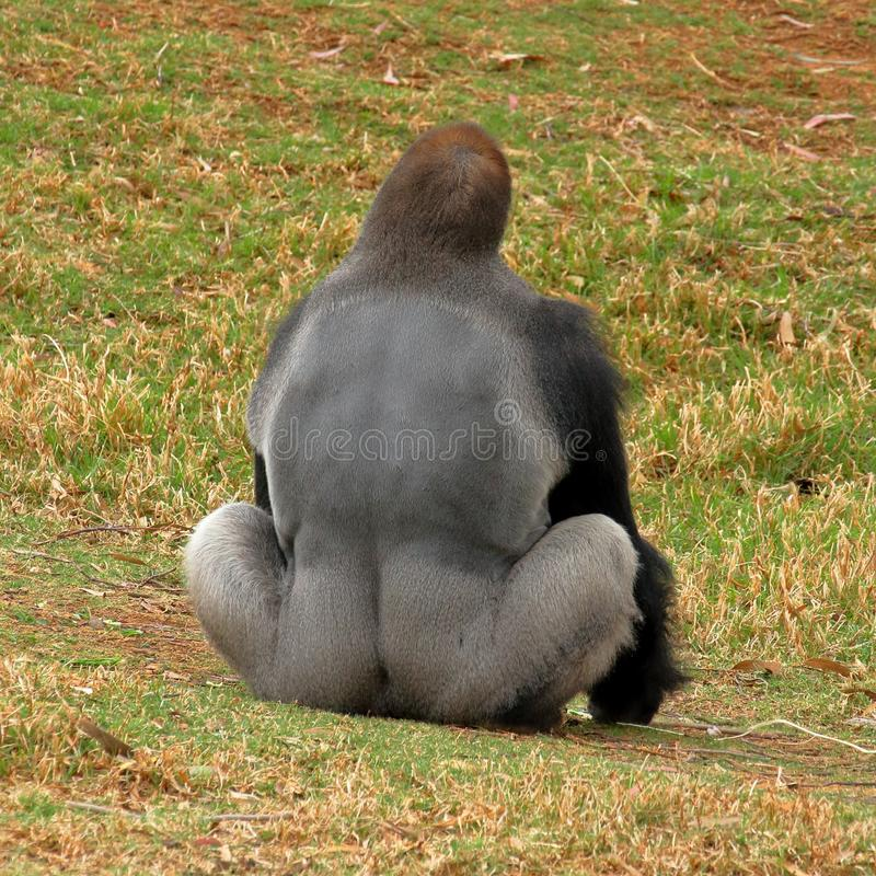 Gorila occidental occidental - Silverback fotos de archivo libres de regalías