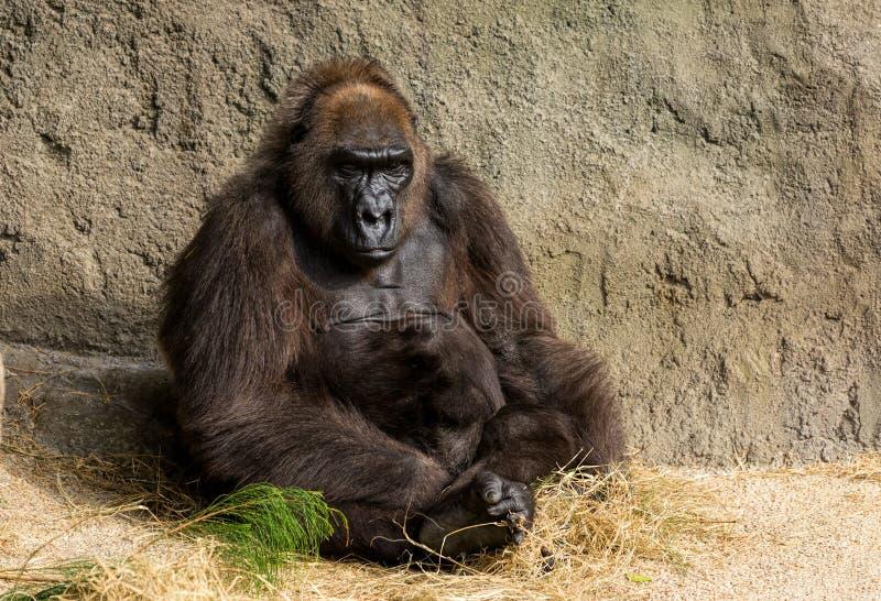 Gorila ocidental da planície fotografia de stock