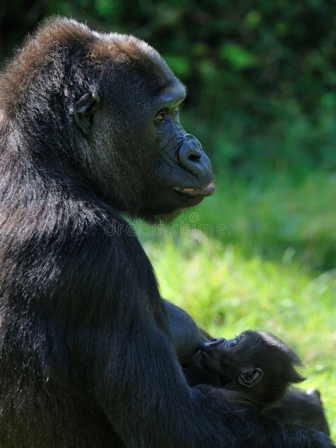 Gorila que amamanta a su bebé fotografía de archivo