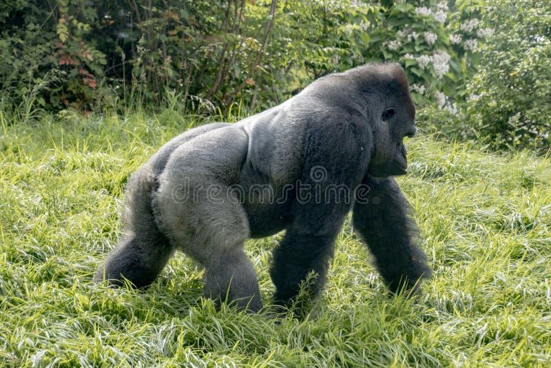Gorila que da un paseo cerca imagen de archivo
